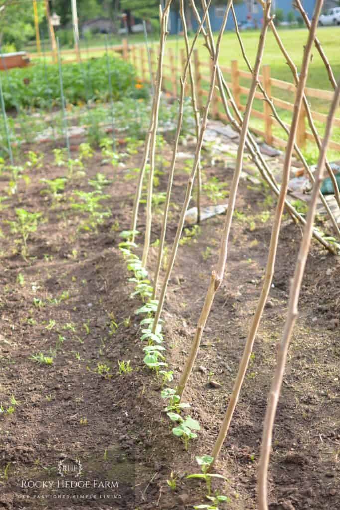 Cheap Gardening Hacks - Use Branches for a Trellis