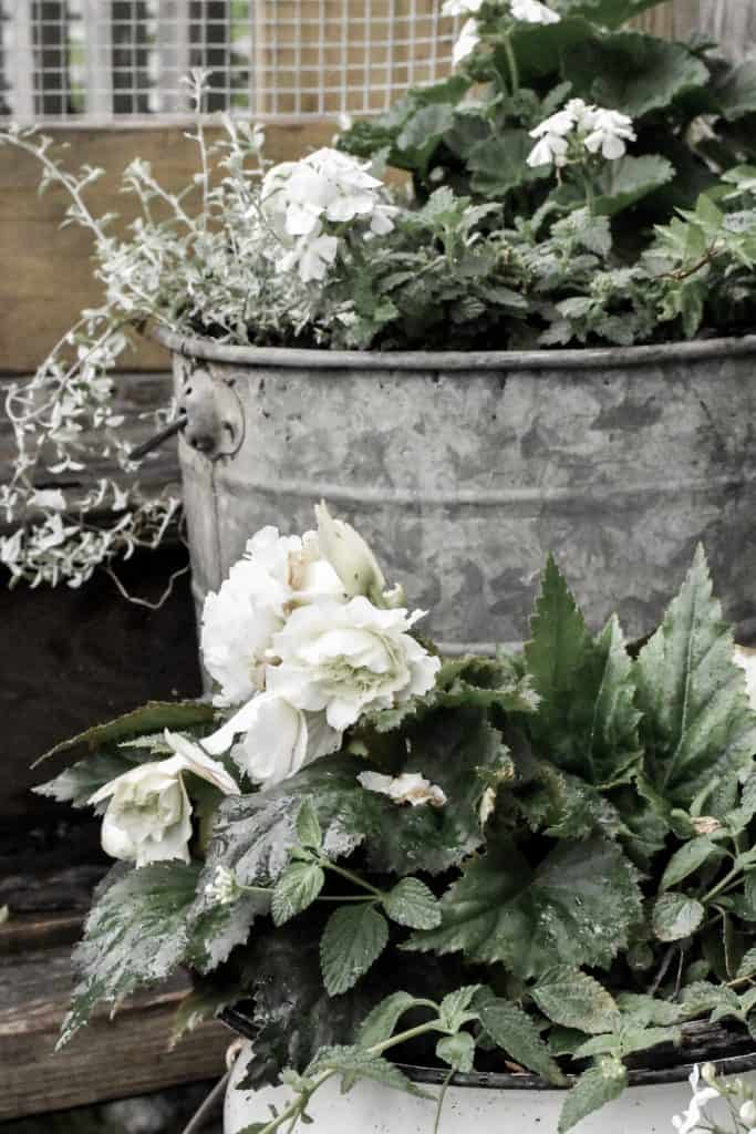 White Begonias - Easy to Grow Shade Plants in Containers