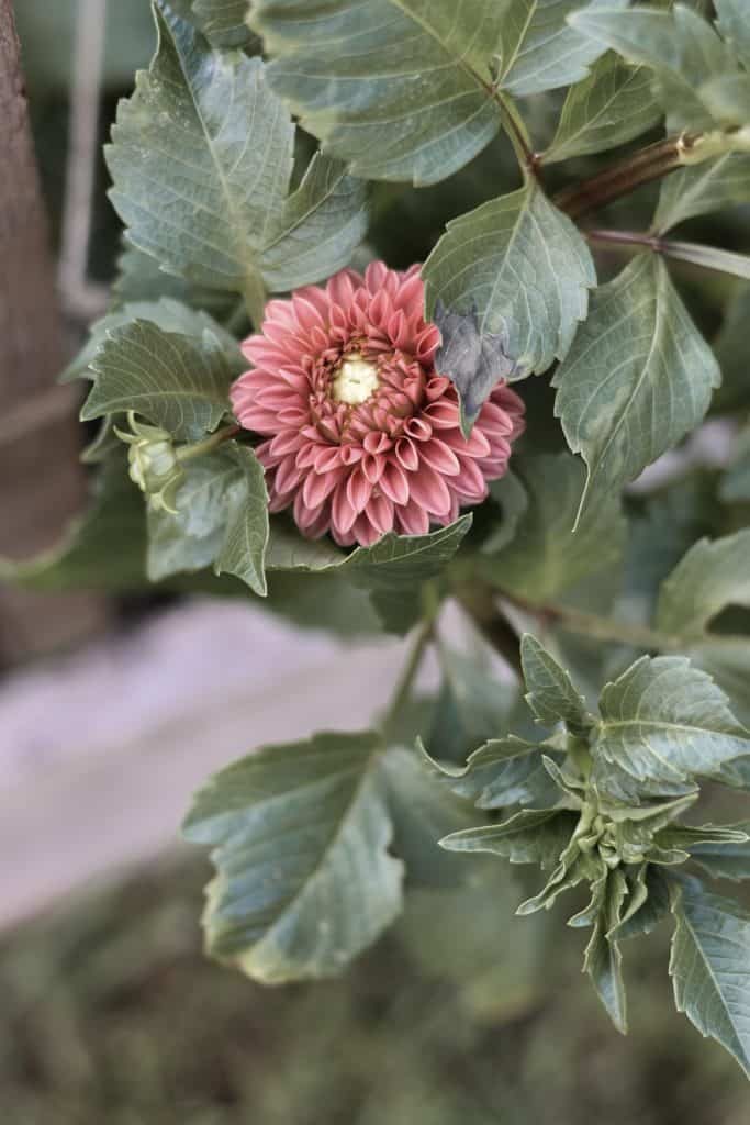 Where to Plant Dahlias