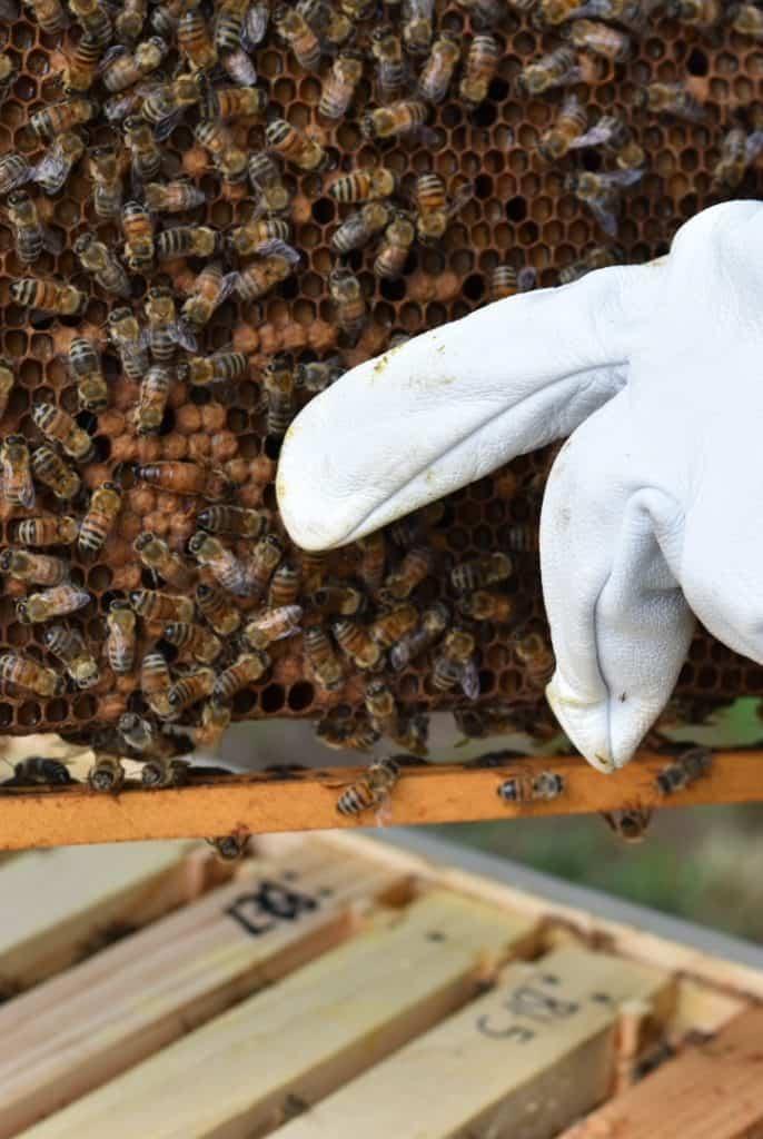 Backyard Beekeeper Beginner Questions to ask.
