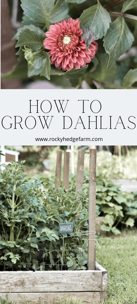 How to Grow Dahlias Step By Step Guide