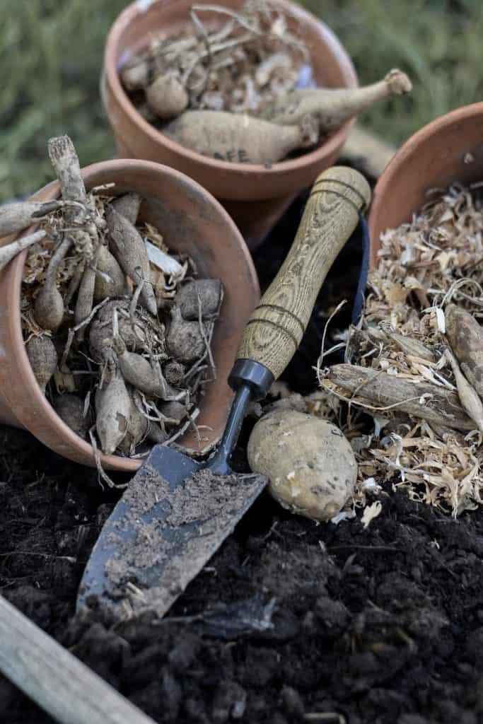 Dahlia Tuber Care and Planting