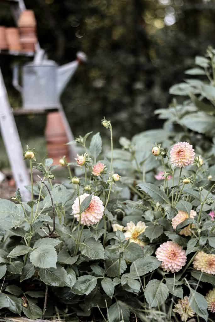 Tips for Planting, Growing and Caring for Dahlias