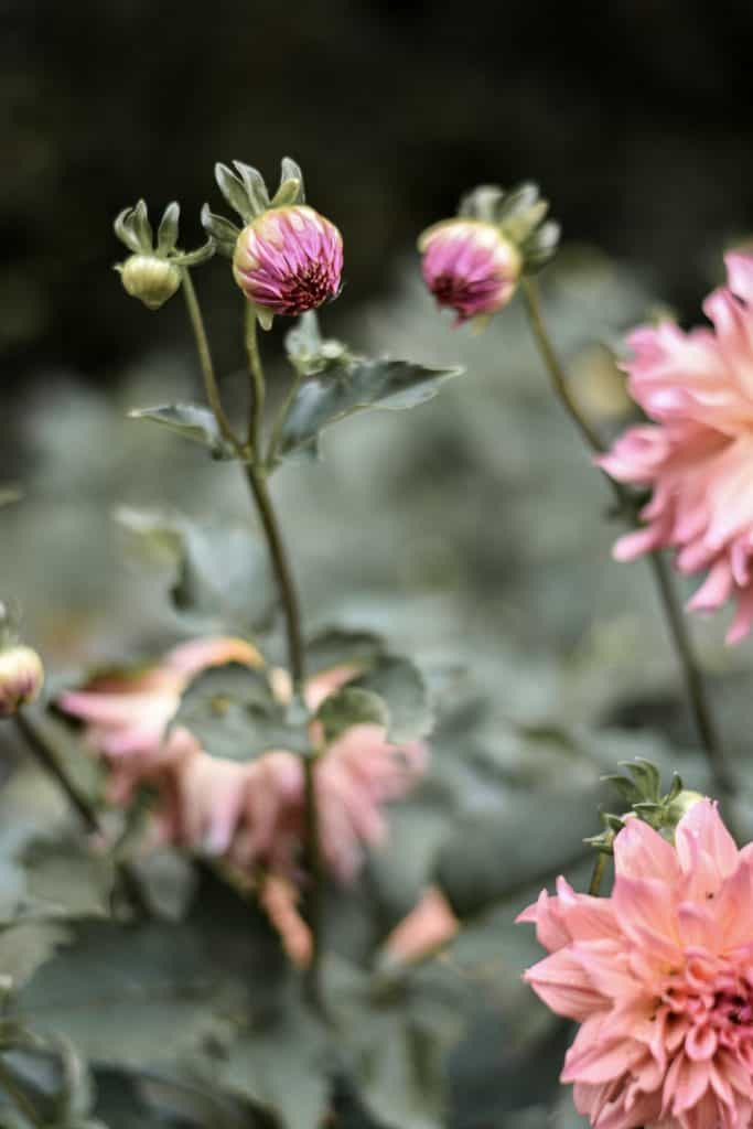 Step by Step Guid to Growing Dahlias