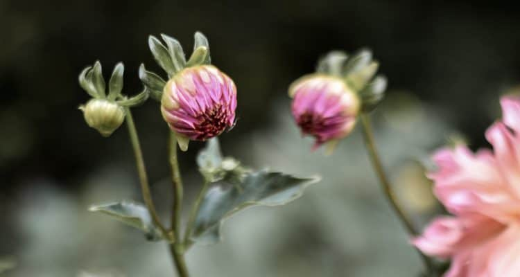 How to Grow Beautiful Large Dahlias