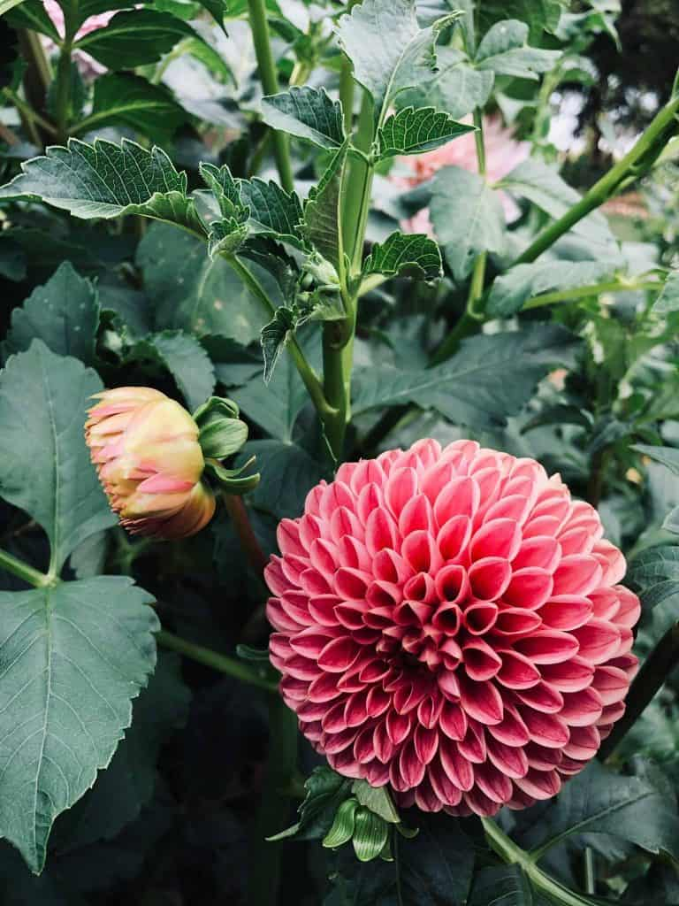 Growing Dahlia from Tubers