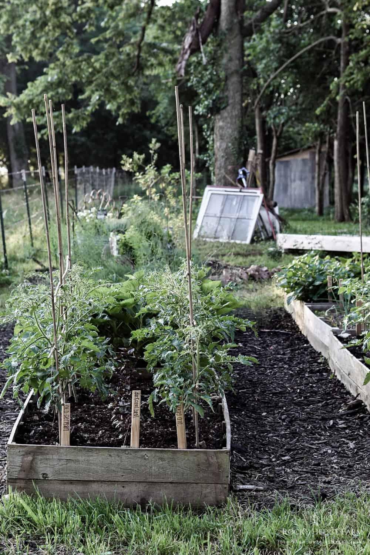 Heirloom Tomatoe Plants