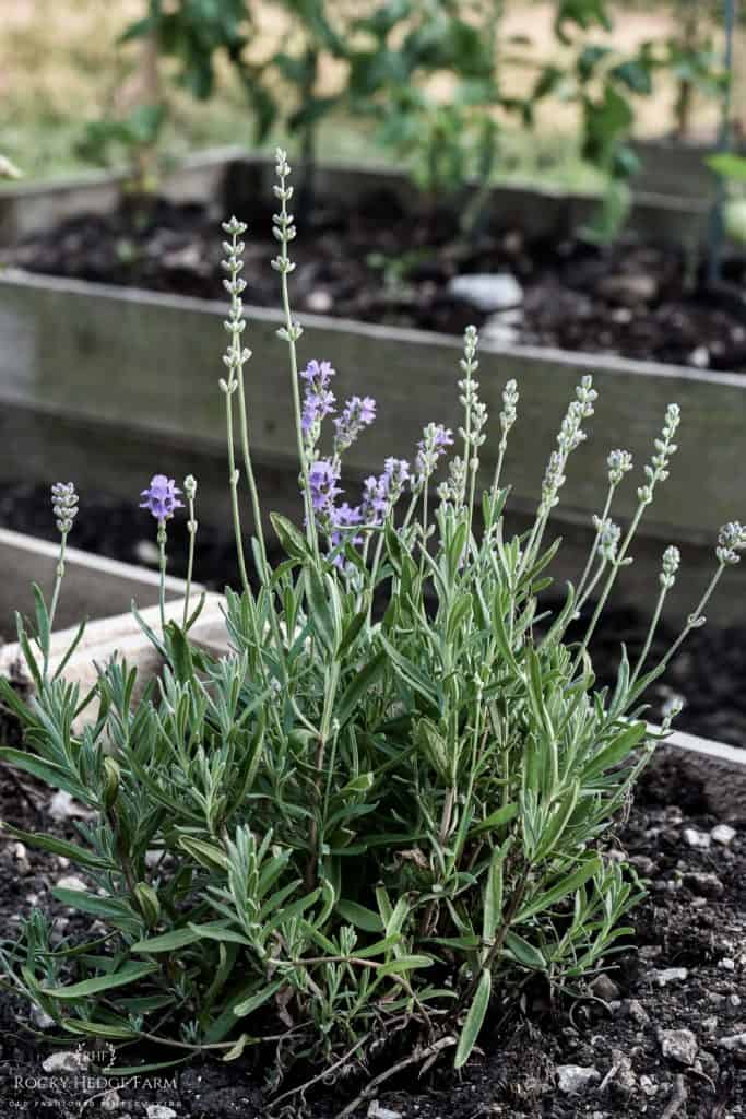 Growing Perennial Lavender