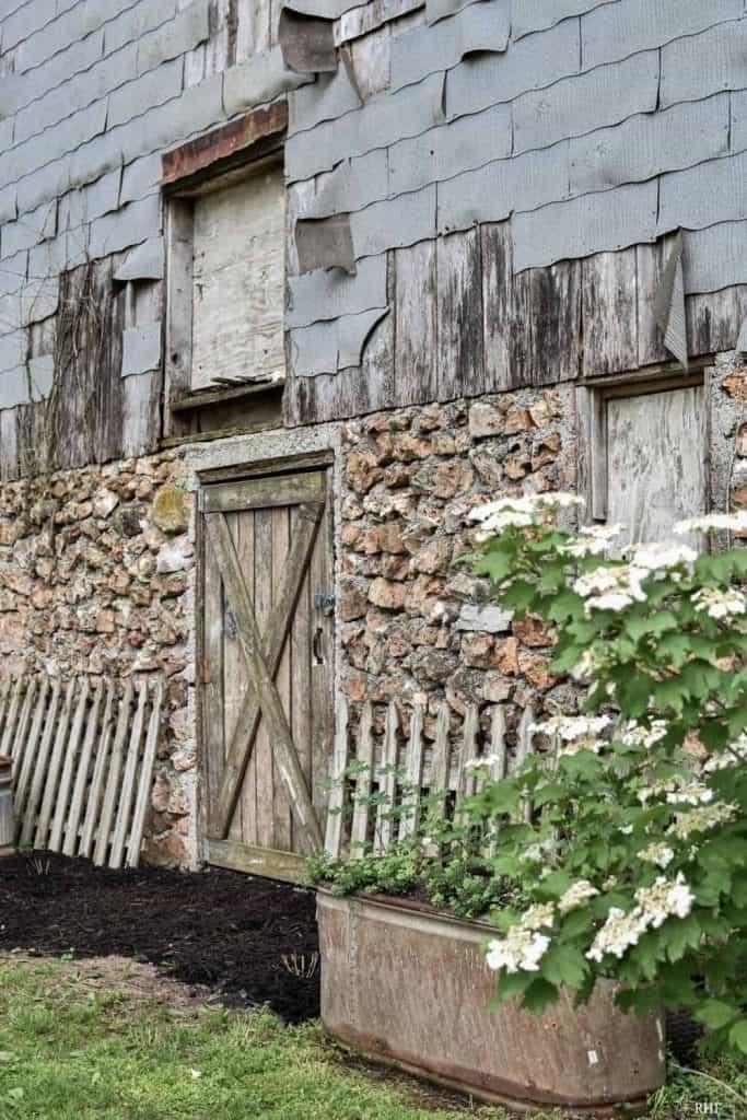 Climbing Roses on Barn