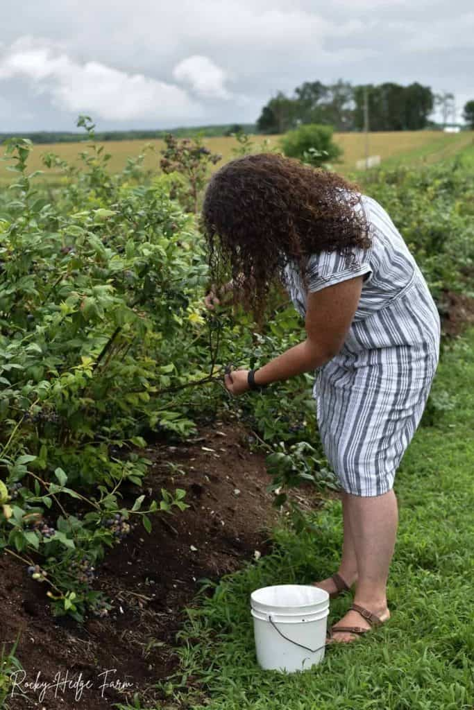 U Pick Blueberry Amish Farm