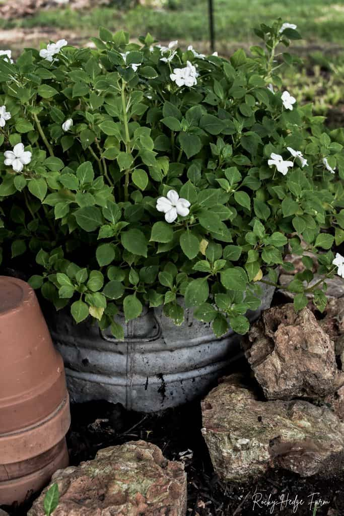 Planting Impatiens in Pots