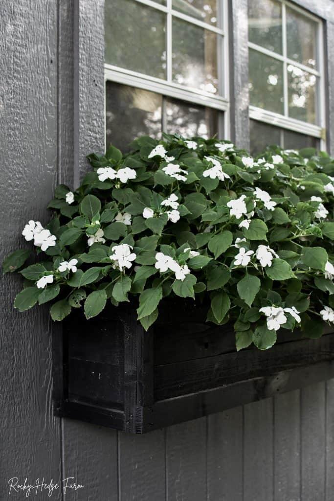 Planting Impatiens in Window Box